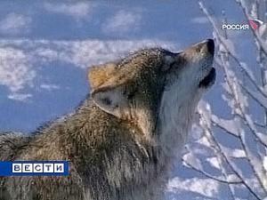 В Приангарье стало больше волков