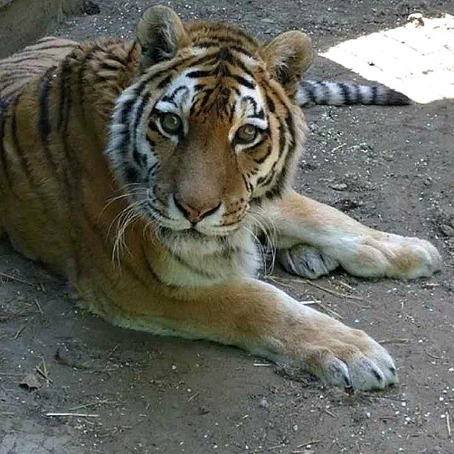 Как здоровье у тигрицы Ириски? Жители Иркутска заботятся о пожилой хищнице