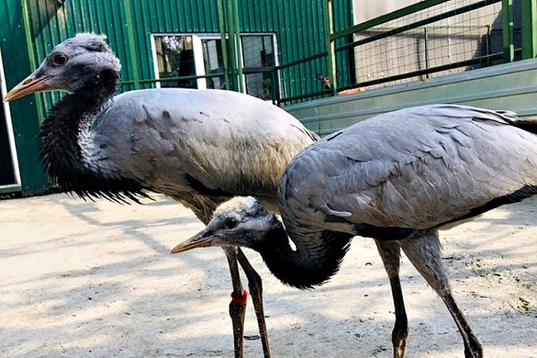 «Концентрат милоты»: В Иркутской зоогалерее вылупился павлиненок