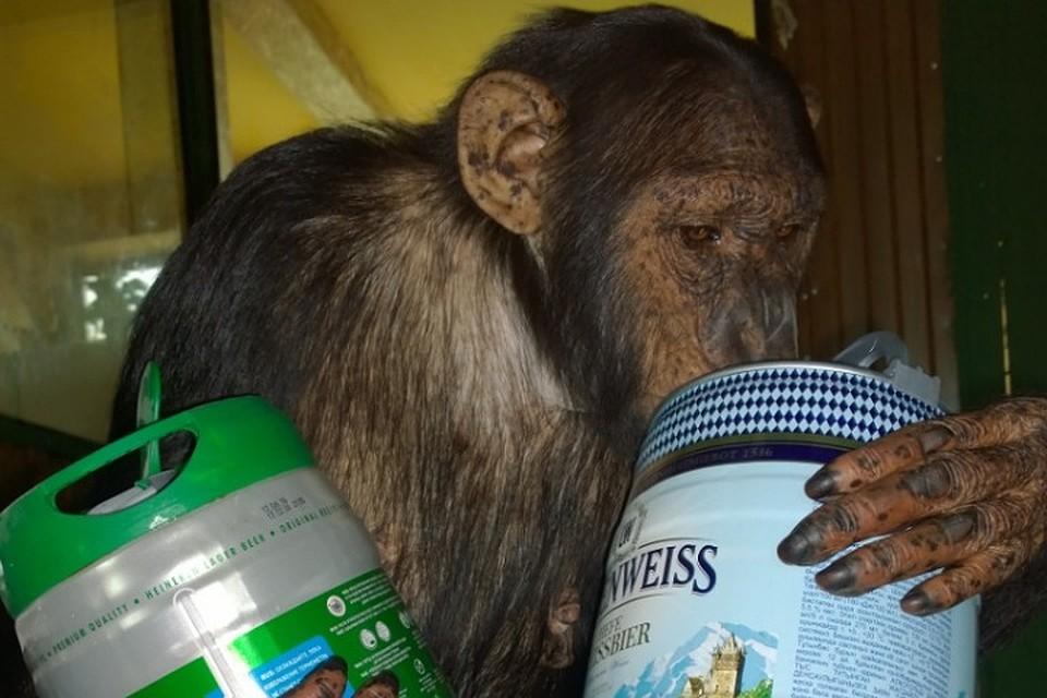 Отметила переезд: В иркутской зоогалерее шимпанзе продегустировала пиво