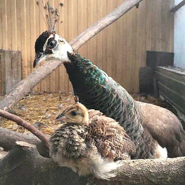 В иркутской зоогалерее появился на свет птенец павлина