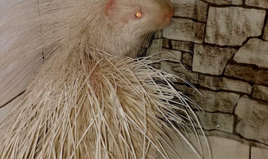 Альбинос родился у пары дикобразов в Иркутской зоогалерее
